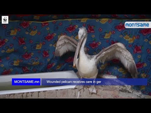 Wounded pelican receives care in ger