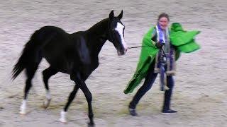 Горячий вороной жеребец Джамал Гели! Ахалтекинская порода лошадей #ИППОсфера #Hipposphere #AkhalTeke