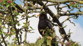 Blackbird Singing
