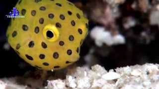preview picture of video 'DIVING- Prince John Dive Resort HD- Kofferfisch Baby'