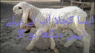 sargohda kajla sheep - 免费在线视频最佳电影电视节目 - Viveos Net