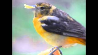 Baltimore Oriole Icterus galbula Video Other 1