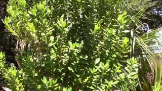 Laurus nobilis Bay Laurel Sweet Bay Tree