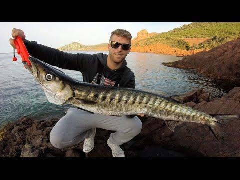 Barracuda på 5,5 kilo fanges fra kysten