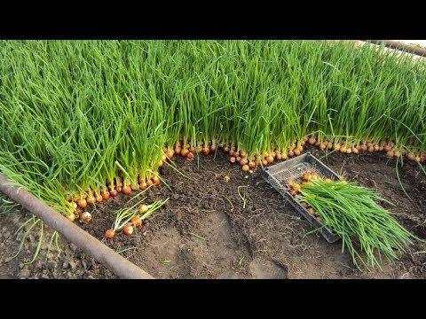 Выращивание зеленого лука в домашних условиях как бизнес