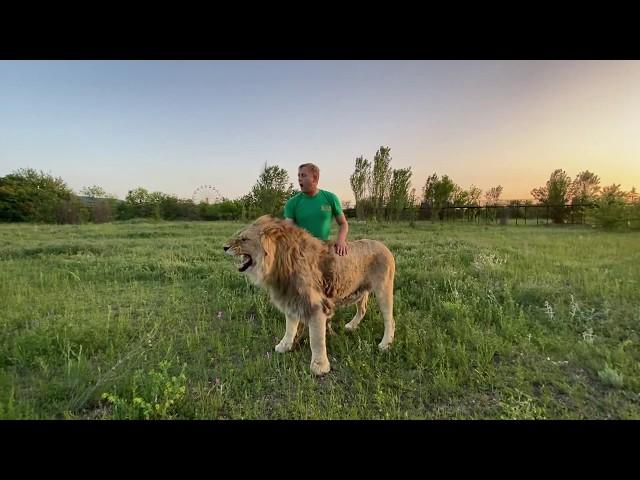 האיש של הספארי מציל את האריה