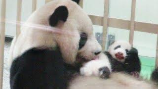 かわいい♥赤ちゃんパンダのお顔がみえた♪どんどん大きくなってね!!HELLONEWBABY#アドベンチャーワールド