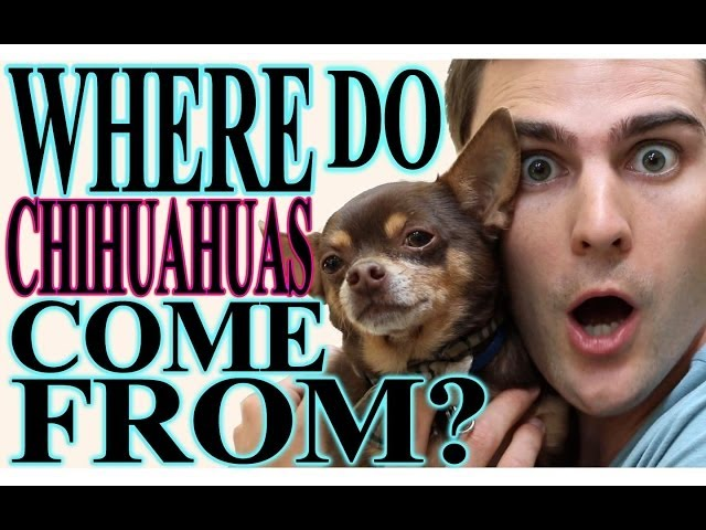 Where do Chihuahuas come from?