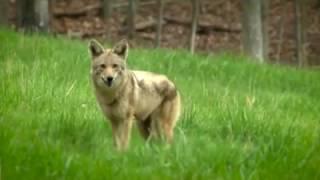 Watch Video - PSA Coyotes, 2016 @loumetroparks @kyfishwildlife