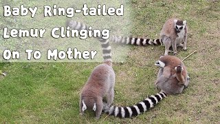 Baby Ring-tailed Lemur Clinging On To Mother | iPanda