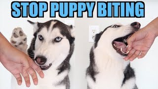 3 Easy Steps To STOP PUPPY BITING! (Siberian Husky Training)