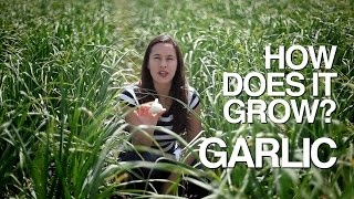 GARLIC | How Does it Grow? - Video Youtube