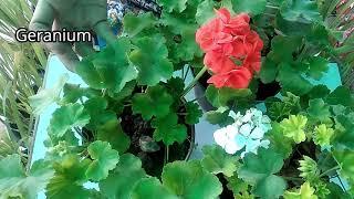 How to use liquid NPK fertilizer, & why to grow Geraniums