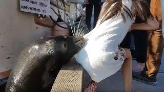 Видео: морской лев в Канаде утащил ребенка под воду Нападение животного на ребёнка Опасная близость