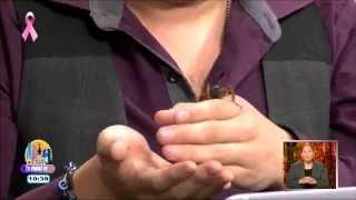 Mitos sobre el insecto Cara de Niño