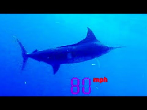 Black Marlin: The Fastest Fish on the Planet | Ultimate Killers | BBC Earth