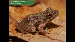 Northern Cricket Frog Song