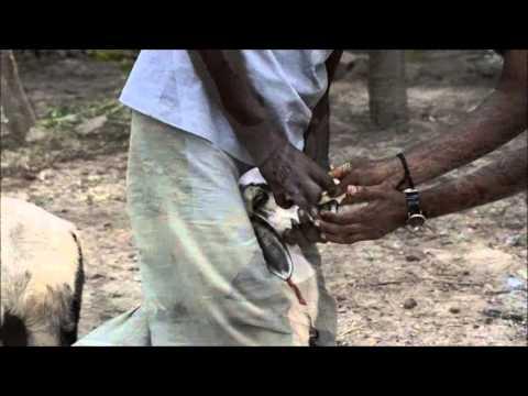 Video Blue tongue disease treatment in sheep using Aloe vera