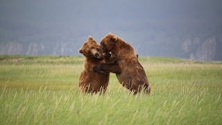 ALASKAN GRIZZLY BEARS spotted by Scenic Bear Viewing