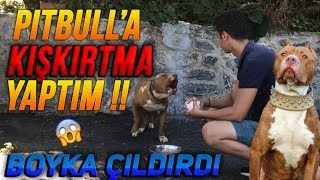PİTBULL'A KIŞKIRTMA YAPTIM !! - BOYKA ÇILDIRDI !!