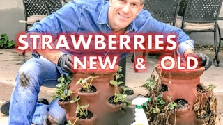 RE NEW Last Year's Strawberry Plants |  EASY TO FOLLOW STEPS By Charles Malki
