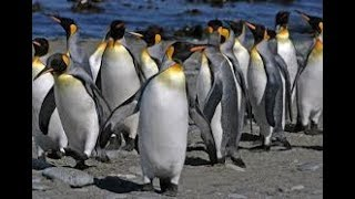 Beautiful Penguins Walking Around - Penguins in the Wild Marching Video