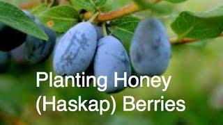 Planting Honey (Haskap) Berries in the Alberta Urban Garden