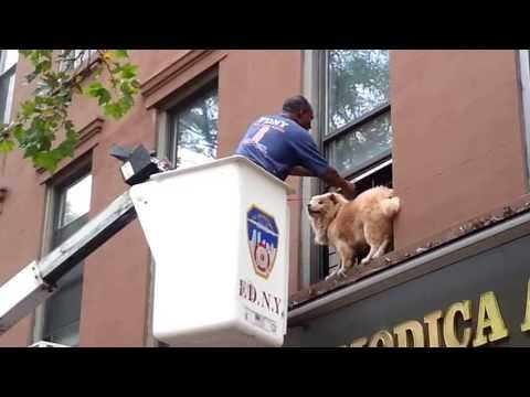 Dog Rescued From Brooklyn Window Ledge July 11 2013
