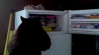 Смотреть онлайн Хитрый медведь ворует еду из холодильника