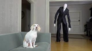 Dog Unimpressed by Slenderman Costume & Other Monsters: Funny Dog Maymo Prank Compilation