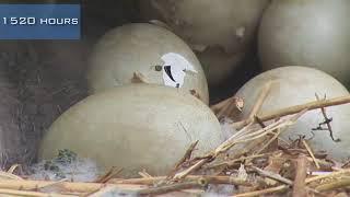 A swan nest hatching