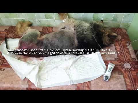 Нашли собаку с дырами в спине и опарышами Животное нуждается в неотложной помощи