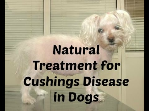 Video Cushings Disease in Dogs: Natural Treatment