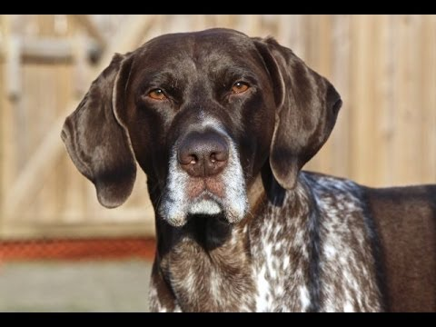 Jethro The German Shorthaired Pointer -