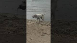 Portnetoso's Ronto, Water Retrieve Training, Lake Erie, April 2017 part 3