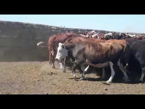 Imagen 78 Vacas preñadas en Artigas
