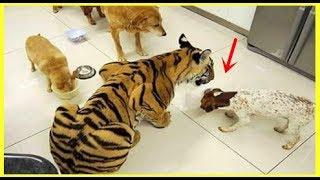 收養了一只受傷的小老虎,沒想到長大後!竟然對男子的寶寶做這樣的事!
