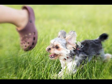 Vdeo de Yorkshire fofo e engraado animao cachorro  Yorkshire Terrier --