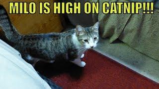 MILO IS HIGH ON CATNIP!!!
