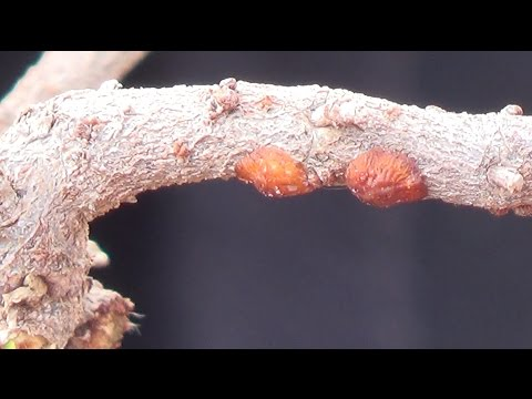 La lila a la psoriasis