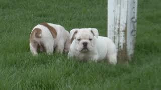 Barb Miller's English Bulldogs
