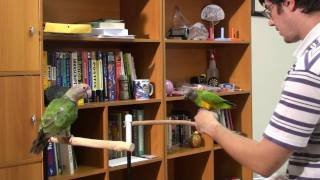 Truman Cape Parrot - Introducing Parrots to Each Other and Target Training by Modeling