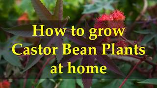 How to grow Castor Bean Plants at home