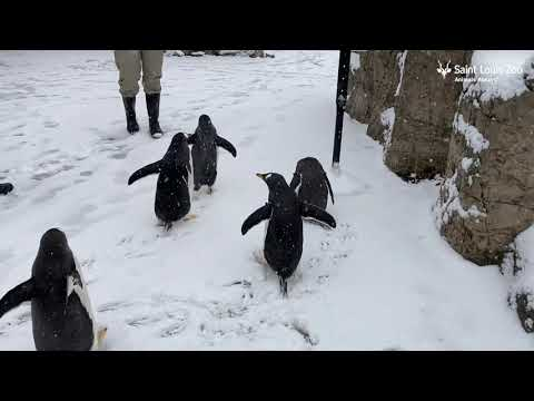 Penguins Enjoying a Snowy Walk Around the Zoo