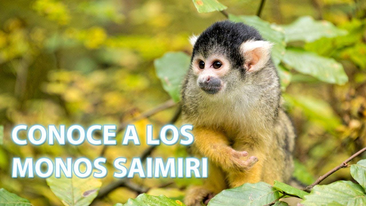Cómo viven los monos saimiri | Vídeos de animales para niños