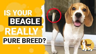 How To Identify A Pure Bred Beagle Puppy