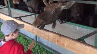 Лосиная ферма!!! В какой детский сад ходят маленькие лосята!