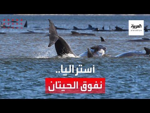 العرب اليوم - شاهد: جنوح الحيتان يقلق أستراليا