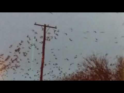 Invasión loros en villarino