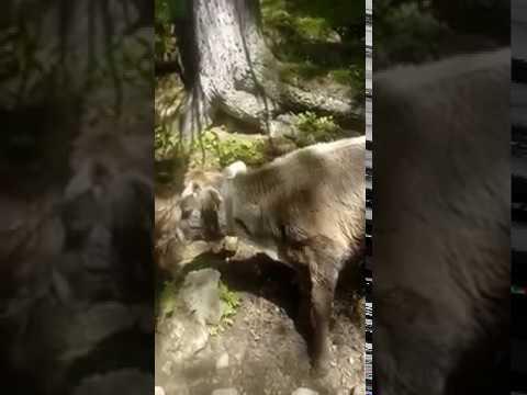 Kalb von Wolf attackiert